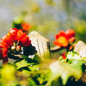 Blüten am Gartenzaun