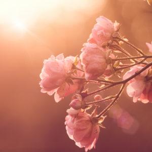 Sonnenuntergang mit Rosen